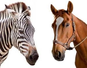 zebrahorse